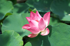 Lotus pink flower pond summer plants beautiful blossom Royalty Free Stock Photos