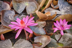 Lotus pink flower Stock Images