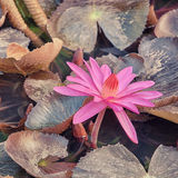 Lotus pink flower Royalty Free Stock Images