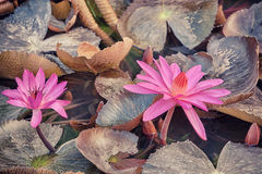 Lotus pink flower Stock Photography