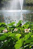 Lotus pink flowers on park lake Royalty Free Stock Photo