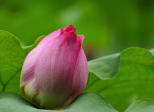 Lotus. Pink lotus with green leaf Royalty Free Stock Photography