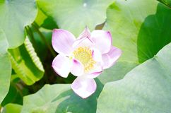 Lotus. The pink lotus and the green leaf is very beautiful Royalty Free Stock Image