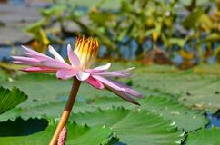lotus pink Stock Photo