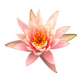 Lotus. The pink lotus isolated on white background Stock Photography