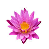 Lotus 30. The pink lotus isolated on white background Stock Images