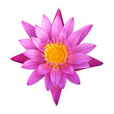 Lotus 29. The pink lotus isolated on white background Stock Images