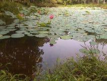 Lotus pink and lake Stock Images