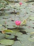 Lotus pink and lake Royalty Free Stock Image