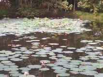 Lotus pink and lake Stock Photos