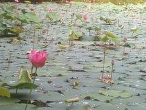 Lotus pink and lake Stock Photo