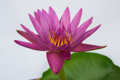 Lotus. Pink live in the pool house Stock Image