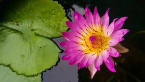 Lotus. Pink lotus. Flower .lotus. pink and yellow lotus . Morning time Royalty Free Stock Photography
