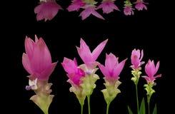 Lotus Pink Paradise på en svart bakgrund Arkivbild