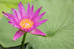 Lotus. Pink lotus in the pond Stock Photo