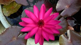 Lotus. Pink lotus in the pond Royalty Free Stock Photos