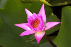 Lotus 13. Pink lotus in the pond Stock Photography