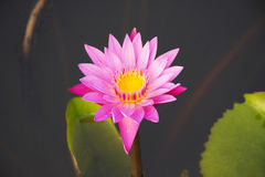 Lotus 33. Pink lotus in the pond Stock Images