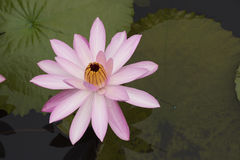 Lotus 38. Pink lotus in the pond Royalty Free Stock Photography