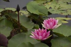 Lotus 54. Pink lotus in the pond royalty free stock image