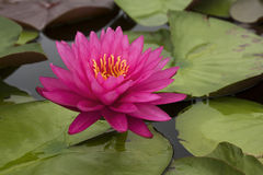 Lotus 67. Pink lotus in the pond Royalty Free Stock Images