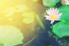 Lotus. Pink lotus in pond for garden decoration Stock Image