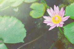 Lotus. Pink lotus in pond for garden decoration Stock Photo