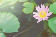 Lotus. Stock Photo