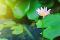 Lotus. Pink lotus in pond for graden decoration Royalty Free Stock Photo
