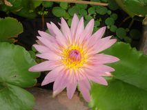 A Lotus is pink royalty free stock photos