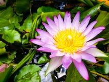 Lotus. Pink Lotus swamp royalty free stock images