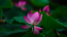 Lotus. Pink and white flowers, summer feature beautiful and contrasting Stock Photos