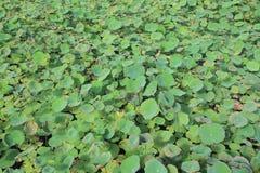 Lotus plant Stock Photo