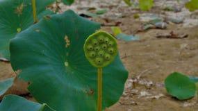 Lotus Plant americana fotografie stock libere da diritti
