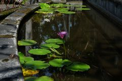 Lotus flower, is a flower that grows in the water. in some mythologies and beliefs are sacred flowers. stock image