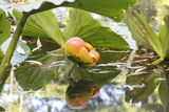 Lotus Plant Royalty Free Stock Image