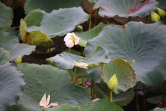 Lotus plant with a flower and buds Stock Images