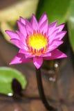 Lotus Plant su acqua Fotografia Stock Libera da Diritti