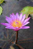 Lotus Plant on Water Royalty Free Stock Photos
