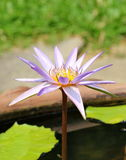 Lotus. The lotus  is plant water its beautiful Stock Photos