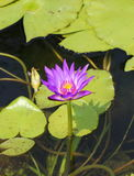 Lotus. The lotus is plant water  its beautiful Royalty Free Stock Images