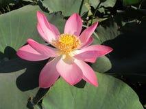Lotus - planta meridional termófila Fotografía de archivo libre de regalías