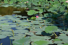 Lotus plants buds. Lotus pond with pink flowers, buds, green leaves and fallen petals Stock Image