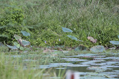 Lotus Plants e hierba alta Fotografía de archivo