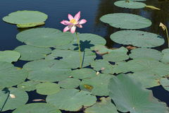 Lotus plants flower. Lotus flower and leaves with sitting frogs in the pond Stock Photo