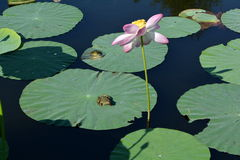 Lotus plants frogs. Two frogs on lotus leaves and a pink flower in the pond Stock Photography