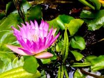 Lotus. Pnik lotus swamp royalty free stock photography