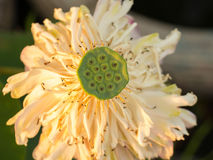 Lotus Pod. Made of Lotus Seeds royalty free stock images