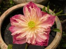 Lotus Pod. Made of Lotus Seeds stock image