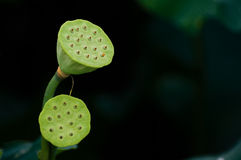 Lotus pod. Seed Pod of Lotus Flower.Close up of a multi colored lotus seed pod with seeds stock images